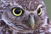 Burrowing owl close up
