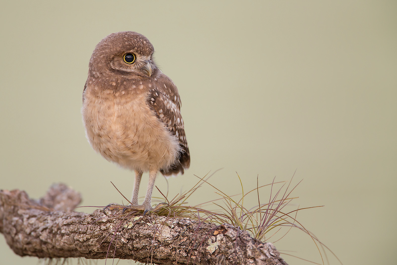 Young burrowing owl - early morning light