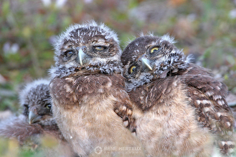 A shoulder to lean on - Burrowing owl babies