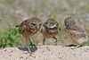 Burrowing owl father and babies