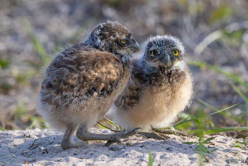 Burrowing owl babes