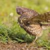 """Burrowing Owl taking a bath from a lawn sprinkler  <a href=""""http://www.wklein.smugmug.com"""">http://www.wklein.smugmug.com</a>"""