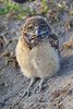 Baby burrowing owl in burrow
