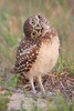 Baby burrowing owl head turn