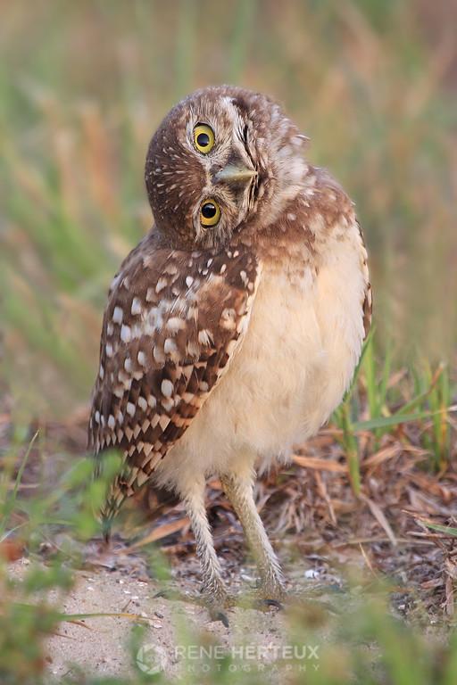 Baby burrowing owl head turn
