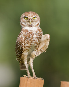 Male Burrowing Owl - Standing watch