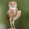 Male Burrowing Owl - Standing watch