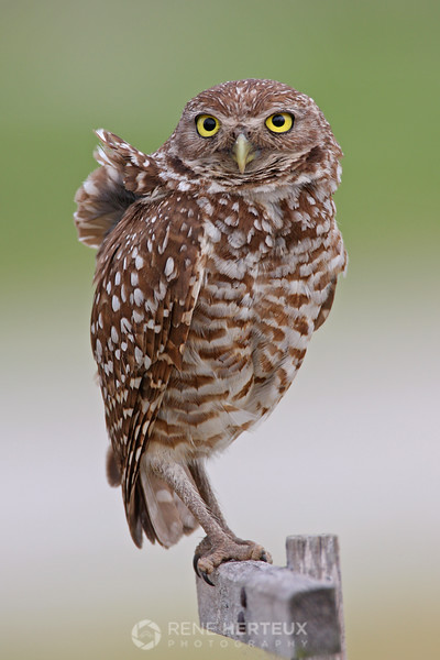 Steady in the wind - Burrowing owl