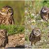 Burrowing owl eye color variation