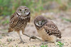 Burrowing owl and baby