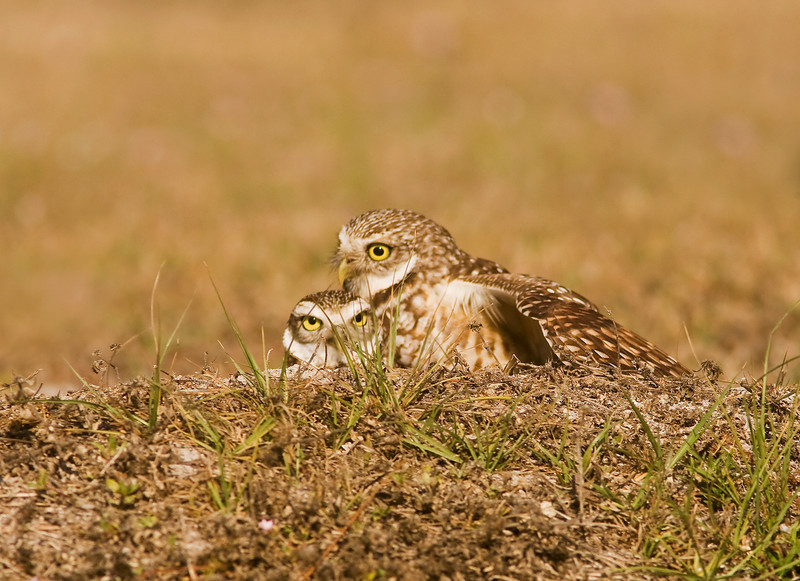 Burrowing Owls at nest