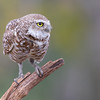Male (adult) burrowing owl