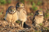 Keep away! - Burrowing owl babies