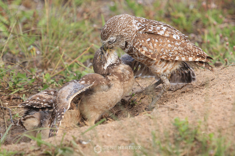 Burrowing owl feeding frenzy 3