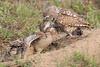 Burrowing owl feeding frenzy 3