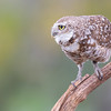 An adult male burrowing owl