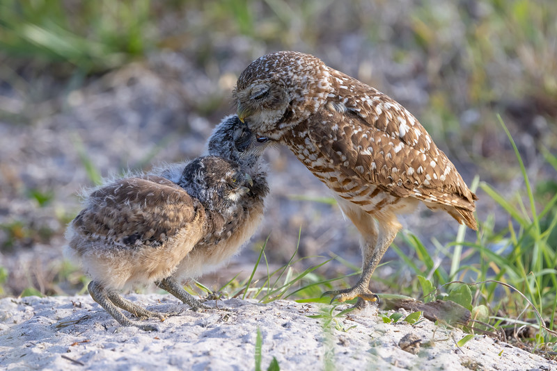 Burrowing owl babies and adult