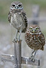 Burrowing owl mother and baby