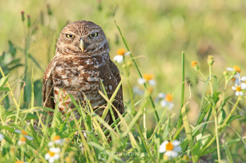 Burrowing owl in flowers