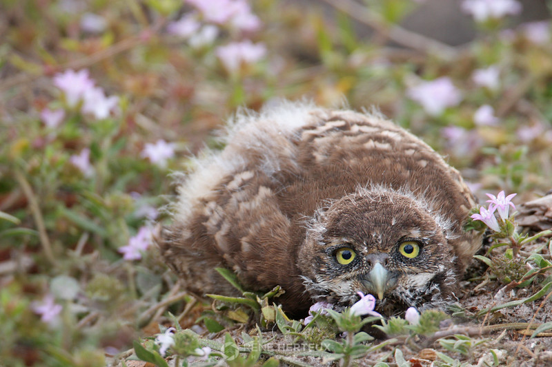 Some days it's not worth getting out of bed - Burrowing owl baby