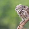 Male burrowing owl (adult)