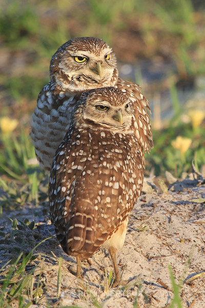 Burrowing owl love