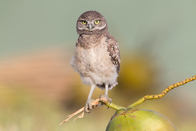 Young burrowing owl perched on a coconut.