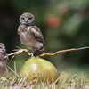 Burrowing owl video