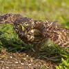 "Burrowing Owl taking a bath from a lawn sprinkler  <a href=""http://www.wklein.smugmug.com"">http://www.wklein.smugmug.com</a>"