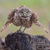 Owls in the rain
