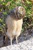 Baby burrowing owl