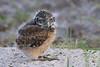 Burrowing owl baby