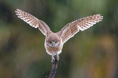 Burrowing Owl (young)