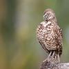 A Pug nose owl