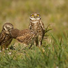 The Sentry....male burrowing owl watches for danger as female feeds their young www.wklein.smugmug.com