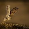 Burrowing Owl takeoff