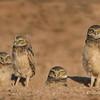 Burrowing Owl Juveniles