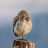 Male Burrowing Owl