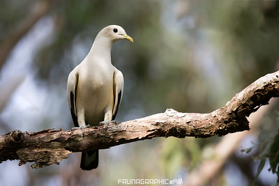 Toresian Imperial Pigeon