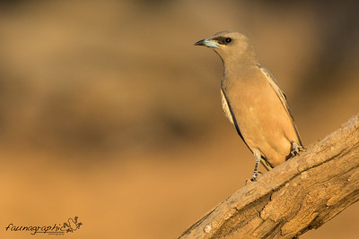 White Browed Woodswallow - Female