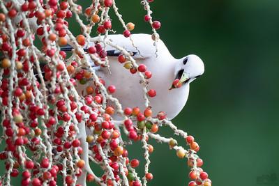 Torresian Imperial Pigeon