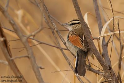 Brown-crowned Tchagra - Tarangire National Park, Tanzania