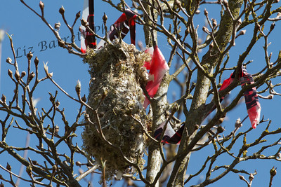 IMG_6074 - Bushtit nest