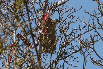 IMG_6066 - Bushtit nest