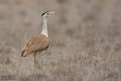 Great Indian Bustard - Kutch, Gujrat, India