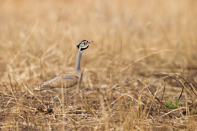 White-bellied Bustard - Tarangire National Park, Tanzania