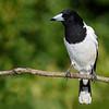 Pied Butcherbird (Cracticus nigrogularis)