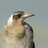 Juvenile Australian Magpie (Cracticus tibicen)