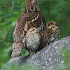 Ruffed Grouse and chicks