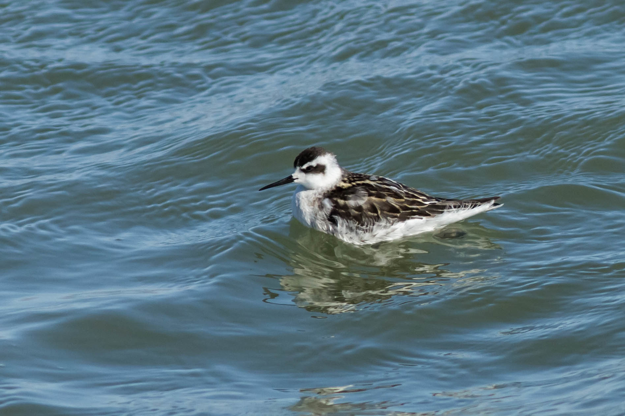 Red-necked Phalarope, Ferry Point, Point Richmond, CA August 31, 2012